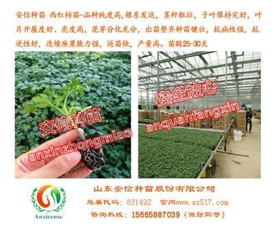 供应常州西红柿苗圣罗兰3689