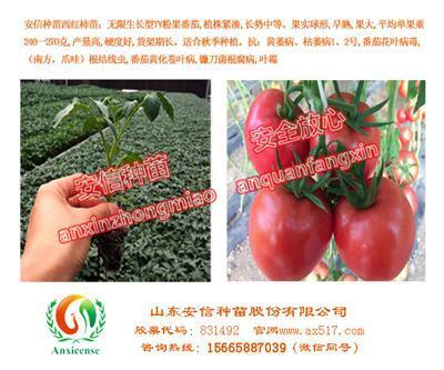 供应扬州西红柿苗圣罗兰3689