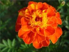 葉黃素10%20%萬壽菊提取物 天然抗氧化劑