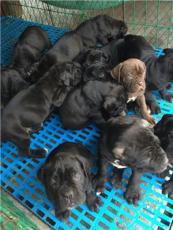罗威纳犬哪里有狗场常年卖昆明狗场罗威纳