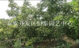 基地现货出售80公分高优质核桃树苗 8518
