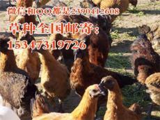 福建养鸡种草金湖乌凤鸡养殖的牧草种植