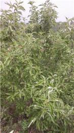 山西翅果油树批发翅果油苗