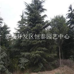 基地供应各种规格雪松树 2米3米4米雪松价格