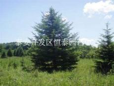 基地大量出售2米3米4米5米云杉 云杉价格