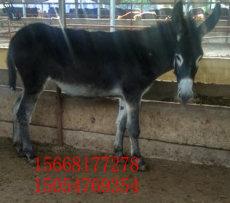 南陽肉驢養殖場-肉驢苗低價促銷