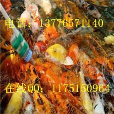 出售锦鲤鱼苗养殖