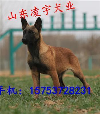 马犬多少钱一只 哪里出售马犬小犬
