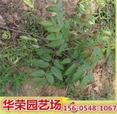 山东香椿苗产地 地径2公分香椿苗