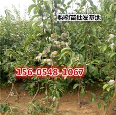 3公分梨树苗单价价格