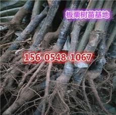 2公分板栗树苗批发价格