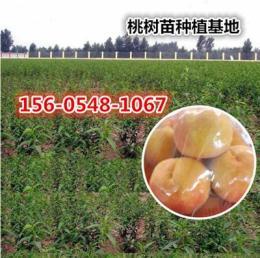 红不软桃树苗价格