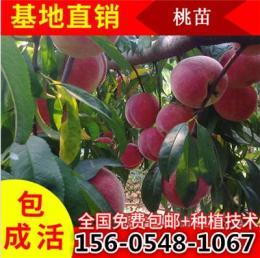 3公分桃树苗基地