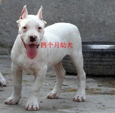 杜高犬养殖厂家