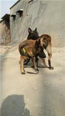 山東馬犬養殖場家馬犬價格