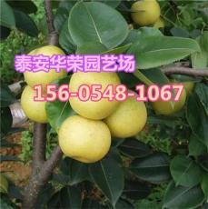 供应9公分梨树苗-批发优质梨树苗基地