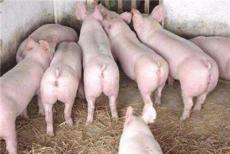 育肥豬吃什么長得快 讓豬多吃快長用優農康