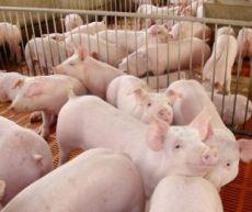 育肥豬怎么養豬養的好 看看優農康養殖戶
