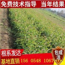 山东早酥红梨繁育基地-0.8公分1公分梨树苗