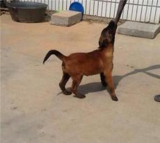 济南马犬养殖