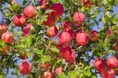 出售3公分苹果树