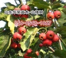 供應大果山楂樹價格4公分山楂苗價格