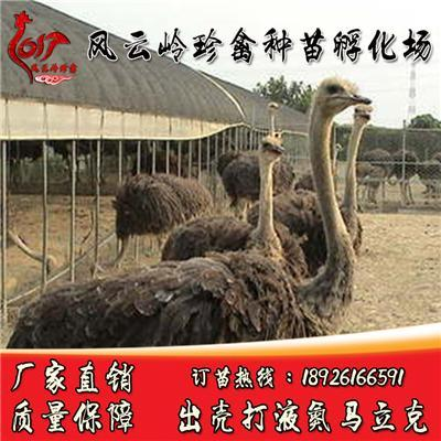 南宁非洲鸵鸟苗出售-全州哪里有鸵鸟苗卖