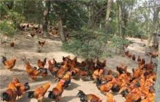 肉鸡肠炎用什么药效果好 拥有健康肠道的方