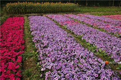 昭通花海专用花草种子多少钱一斤