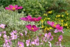 波斯菊種子種植到開花需要多久可以開花