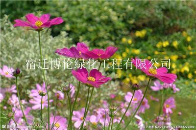 波斯菊种子种植到开花需要多久可以开花