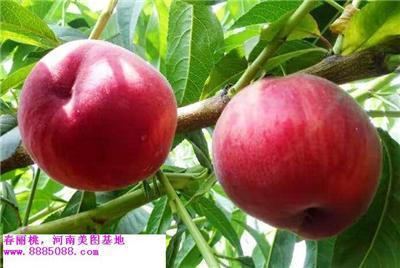 春丽桃 早熟桃树新品种