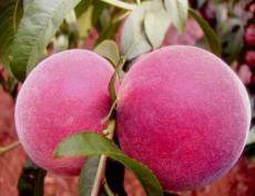 超早紅蜜桃