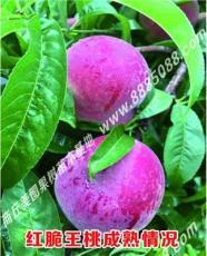 特早熟超级毛桃新品种--特早红脆王