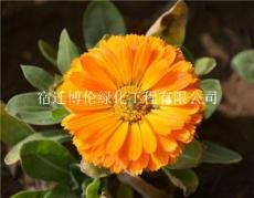 金盞菊種子春播40-50天開花