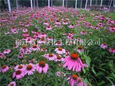 松果菊種子春播可以播種多久開花