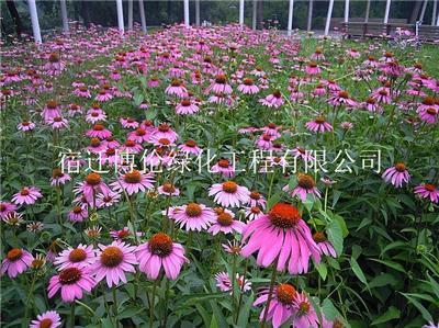 松果菊种子春播可以播种多久开花