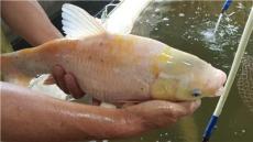超雄黄颡鱼苗 全雄黄颡鱼 黄颡鱼成品