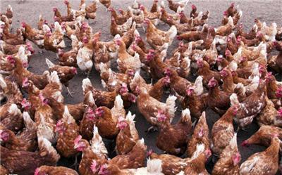 鸡呼吸道病特效药-疫苗导致呼吸道的处理