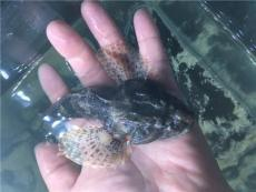 松江鱸魚產地 松江鱸魚原產地在哪里