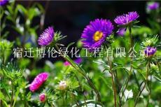 混播草籽黃金配比高羊茅-結縷草