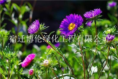 混播草籽黄金配比高羊茅-结缕草