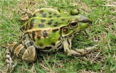 周口黑斑蛙价格 虎纹蛙价格商丘的