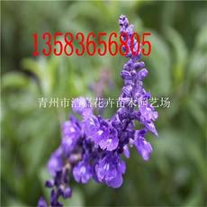 薰衣草那里有 山东青州浩嘉花卉专业绿化苗