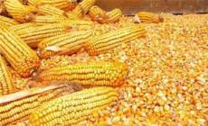 大型养殖场求购玉米等各种饲料原料