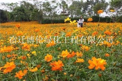 黄色波斯菊种子现在多少钱一斤