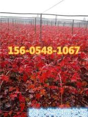 產地直銷8公分紅楓樹苗價格多少