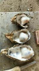 钦州生蚝批发主要在哪 优质越南生蚝批发