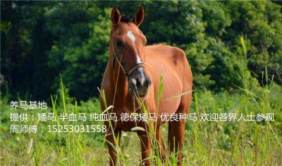 宠物马 饲养矮马 果下马 价格多少矮马