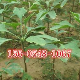 供应2公分3公分4公分5公分银杏树苗